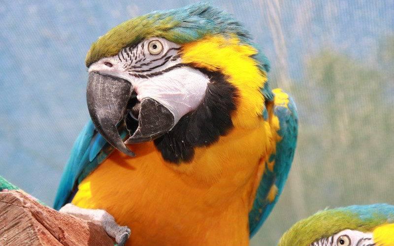 papagaio amarelo